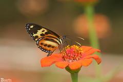 Alegria nas cores (Boarin) Tags: macro natureza flor borboleta specanimal ultimateshot specinsect top20yellow