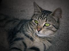 Hallmarks of felinity (syncho) Tags: cats cute animals kitties