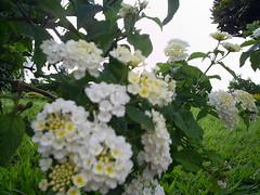 flores Nilceia Gazzola 22 mini pequena flores minusculas, brancas e amarelinhas, caichinhos (nilgazzola) Tags: brasil de foto sp fotos ou com nil minhas tirada maquina echapora gazzola nilgazzola
