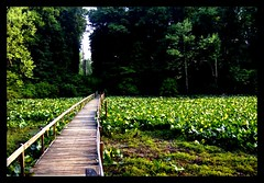 across the green lake (indielove) Tags: park bridge plants lake green weeds path shakamakstatepark