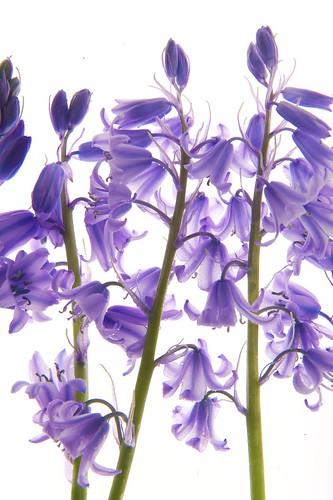 フリー写真素材, 花・植物, モクセイ科, ライラック・リラ・ムラサキハシドイ,