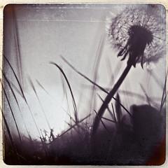 (~Liliana) Tags: light bw sun flower texture vintage retro f2 squared helios44m4