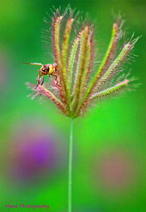 مواجهه (mzna al.khaled) Tags: flower macro green colors beautiful bee natrue الوان جميلة ماكرو حشرات نحل macrolife
