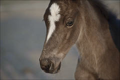 Elle de Rivereuille (nathaliehupin) Tags: cheval chevaux foal poulain photographebruxelles nathaliehupin mai2010 photographeluxembourg photographehainaut photographenamur photographeliege photographemons photographebelgique wwwnathaliehupinbe wwwnathaliehupingraphismebe