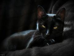 Black (Ame70) Tags: pet black animals cat negro gato reflejo sombras mascota mygearandmepremium mygearandmebronze mygearandmesilver mygearandmegold mygearandmeplatinum