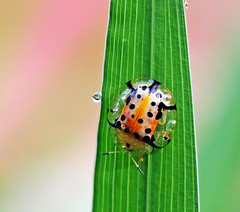 The journey (xeno(x)) Tags: pink macro green nature grass canon garden insect asia ladybug 2009 xeno bej tortoisebeetle 40d ahqmacro