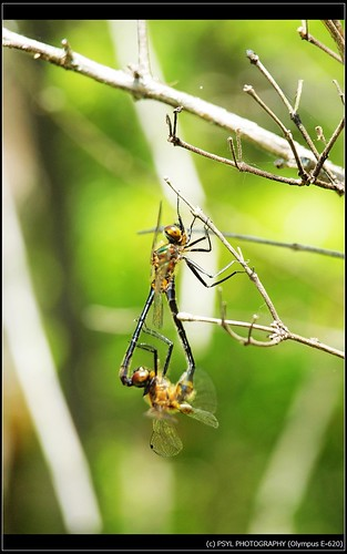 Unidentified Dragonflies