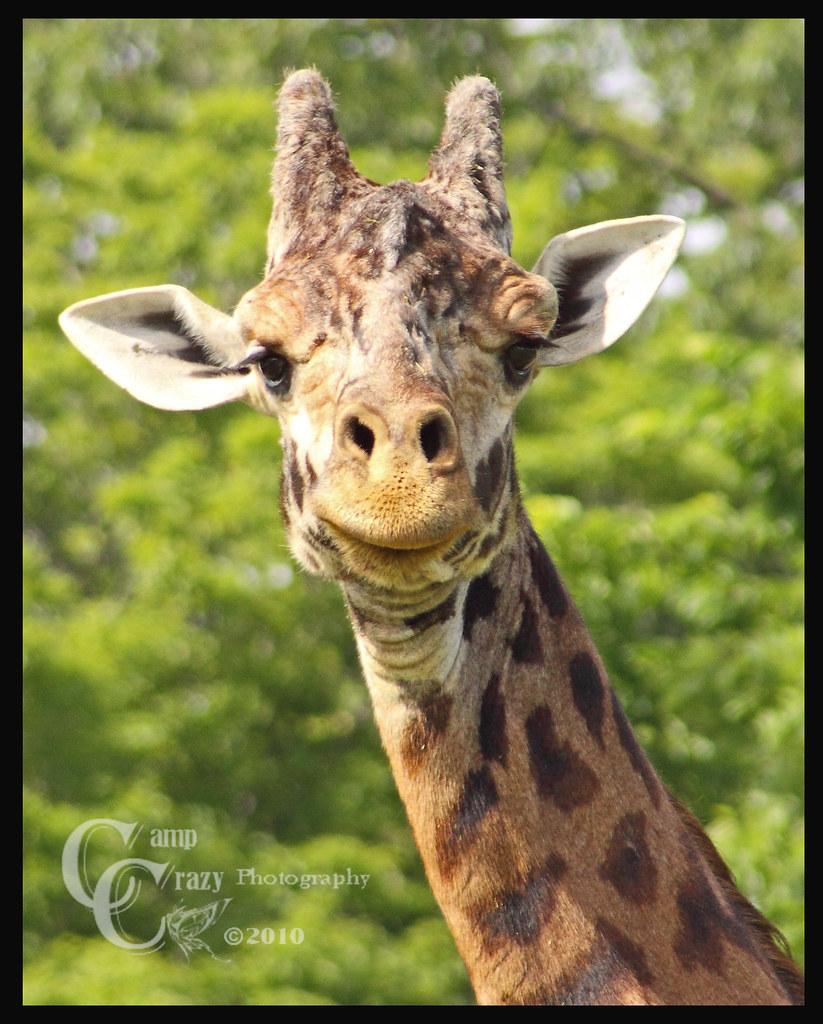 Masai giraffe #3