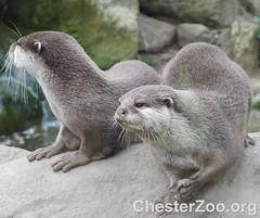 Asian short-clawed otters (Chester Zoo) Tags: carnivore shortclawed ottter mustalid