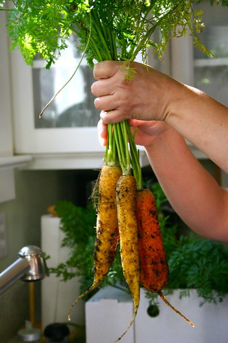 harvesting the last of the carrots