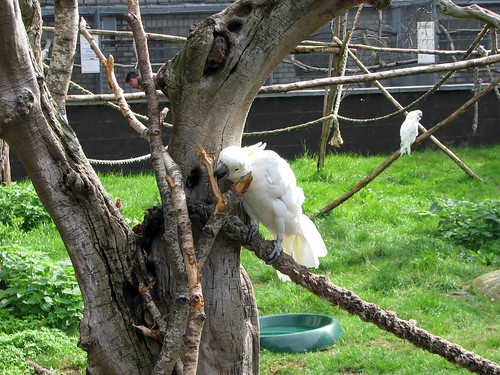 White-crested Cockatoo at play