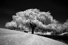 infrared willow (suisun) Tags: ir nikond70 infrared hoyar72filter