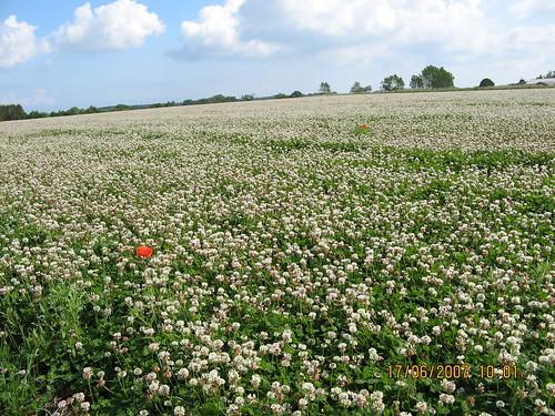 Hvidkløver, stadig i fuld blomst