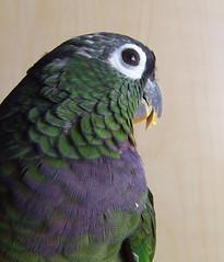 Diego (loma_prieta) Tags: birds animals diego parrot pionus featheryfriday interestingness129 i500 pionusmaximiliani maximilianpionus