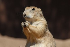 Let Us Pray (ONE/MILLION) Tags: arizona dog cute love nature animals photo google search interesting furry squirrel flickr image photos prayer ground images prairie rodents find onemillion murkeet