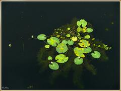 Floating colours 1 (Ritu's Lens) Tags: nature water leaves float mywinners panasonicfz50 impressedbeauty ysplix