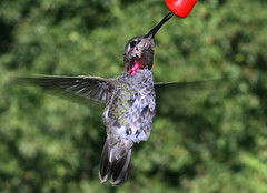 Hummingbirds tongue 1 5968 - by casch52