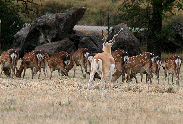 Sika Deer Ignoring a Black Buck