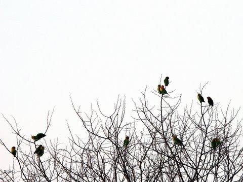 african lovebirds