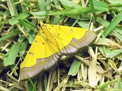 CRA Botyodes flavibasalis (hkmoths) Tags: hongkong moth lepidoptera saikung taimongtsai crambidae mothmania butterflycolor spilomelinae ysplix awesomebug botyodesflavibasalis botyodes flavibasalis hongkongmoths hongkongcountrypark nationalmothweek