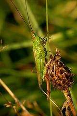 Conocephalus discolor (Walwyn) Tags: insect cricket orthoptera warwickshire conehead walwyn conocephalusdiscolor draycotemeadows profmoriartydotcom:book=1344 profmoriartydotcom:book=4057 taxonomy:binomial=concephalusdiscolor
