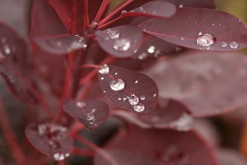 Water drops on Burgundy Leaves