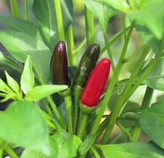 Chilli Plant 1317