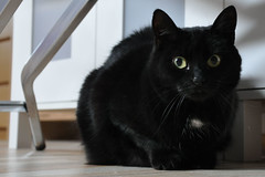 ... everybody's darling ... (wolli s) Tags: black animal cat eyes nikon cateyes darling blacky everybodys d90