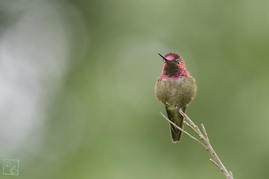 Anna's Hummingbird 05100