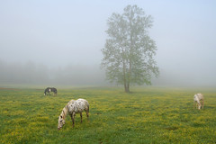 Early Morning Grazers (Welklin's Wilds) Tags: park flowers horses horse mountains tree grass yellow fog breakfast nikon cove great joe eat national smokey cades wilds d40 grazers goatman6 welklins