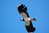 Lapwing, Tobha Mhor, South Uist (Niall Corbet) Tags: island scotland south lapwing outer uist hebrides vanellus howmore