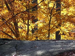 Autumn (donsutherland1) Tags: november autumn ny newyork fall nature leaves yellow bronx colored 1001nights nybg autumnscene newyorkbotanicalgarden flickraward afhht