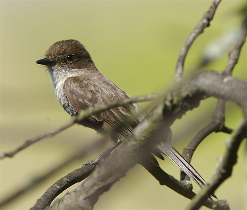 Eastern Phoebe - female