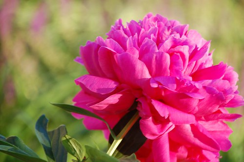Multiplying peony bush
