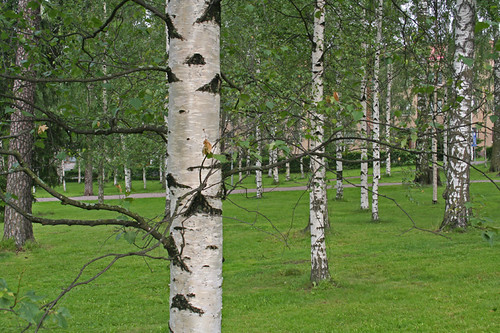 Birch trees in Finland (Flickr photo by Slider5)