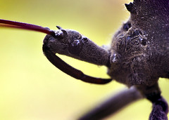 Wheel Bug Silhouette - (Arilus cristatus) (Thomas Shahan) Tags: macro eye face bug insect prime compound close asahi pentax takumar head 28mm dslr ist bellows dl f28 opo macrophotography assasin terser opoterser