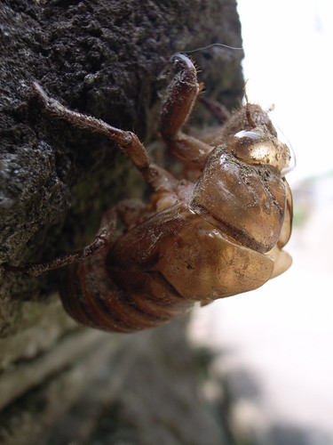 Cicada's shell
