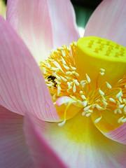 Happy bee (tanakawho) Tags: pink white plant flower macro nature sunshine yellow yummy shiny lotus center petal bee stamen pollen blueribbonwinner mywinners tanakawho 1on1colorful
