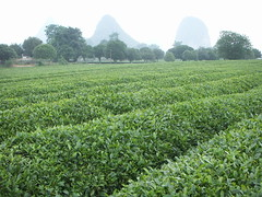 the tea farm stretched for a long ways.... it was really green and beautiful