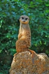 ♫♫ Oops, I did it again...♫♫ (bbdoyle) Tags: zoo dallas meerkat dallaszoo meerkatmanor possiblecvbbookpool