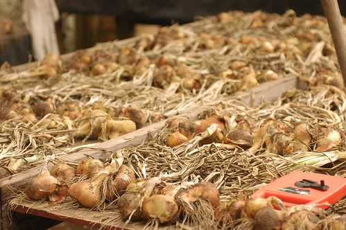 the island - onions drying