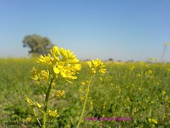 flower smile near the fort08 (tanha_musafer81) Tags: fort derawar
