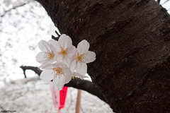 (tsai tao) Tags: flower tree nature japan digital tokyo sakura nakameguro 目黒川 olympusep1 lumixgvario1445mmf3545asphois