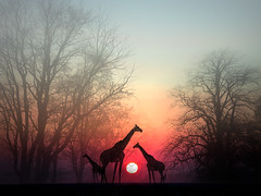 """Giraffes in the Sunset"" (my4otos) Tags: trees sunset art nature photoshop wow creativity interestingness silhouettes giraffes nina mywinners wowiekazowie excapture thatsbostin unlimitedphotos"