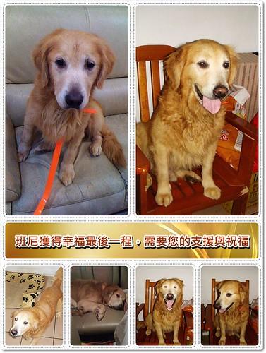 「支援與祝福」新屋救出的黃金獵犬班尼,即將赴美獲得幸福,最後一程,需要您的支援與祝福,轉PO也是非常重要,謝謝您,20100612