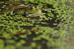Frog in Duckweed (Ami 211) Tags: amphibian frog ukwildlife