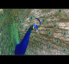 I am a really pretty boy.. (Craig Williams Photography) Tags: blue bird birds canon sussex display feathers peacock southeast lewes bentleys craigwilliams craigwilliamsgallery plimmage