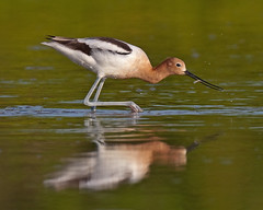 American Avocet Feeding On Fish Eco Pond Flamingo Everglades National Park (kevansunderland) Tags: birds flamingo everglades evergladesnationalpark migration americanavocet shorebirds avocet potofgold wadingbirds birdphotography floridabirds ecopond theunforgettablepictures bestofmywinners