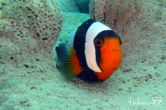 Saddleback Clownfish at Koh Tao Island, Thailand