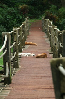 Dogs sleeping on the bridge to the Spice Plantation